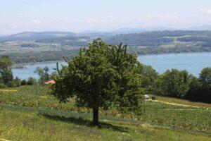 Dans le lac de Morat, l'association sansPoison a trouvé 0,9 microgrammes par litre. Image: Pixabay