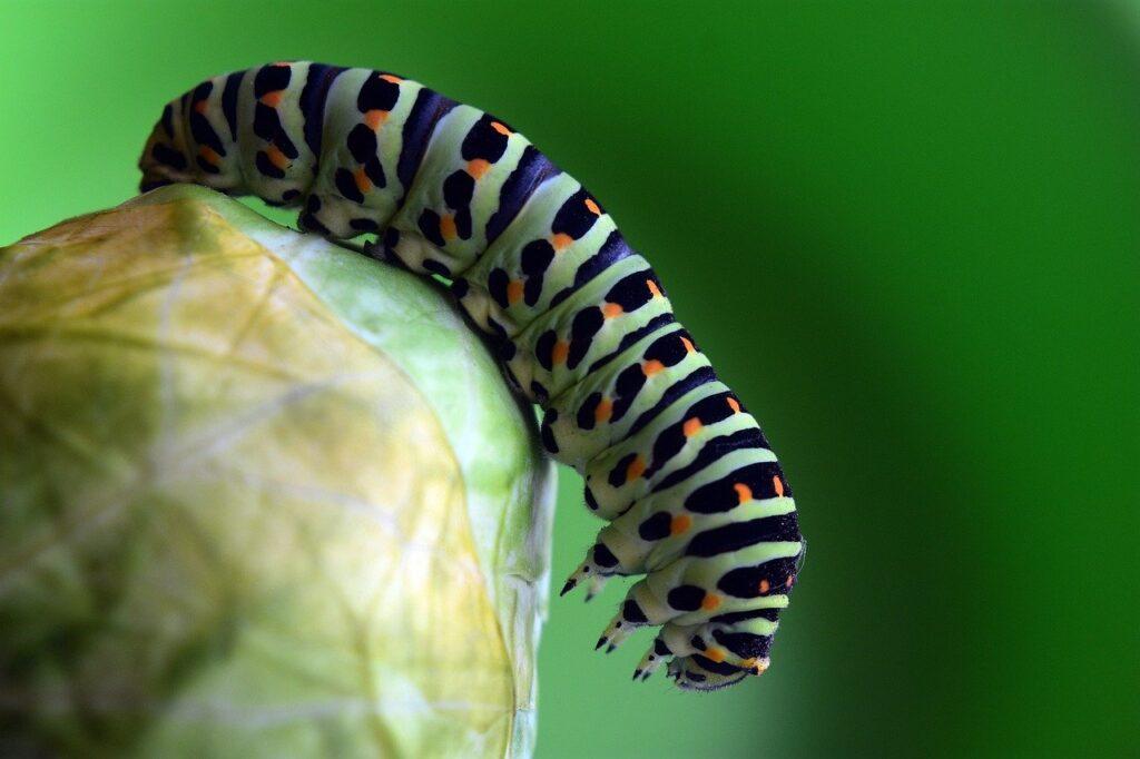 Lamda-cyhalotrine tue les chenilles. Image: Pixabay